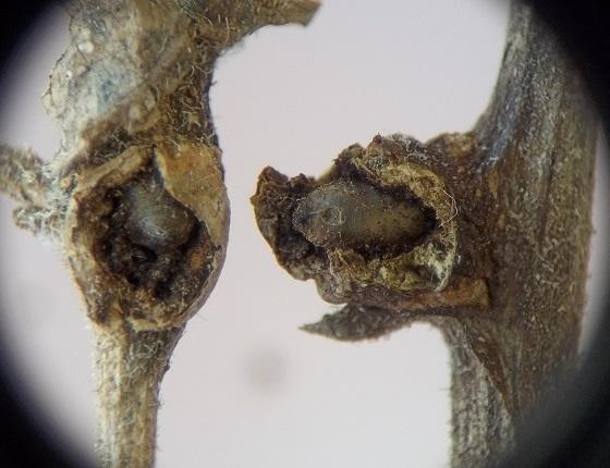 Flies in stem swellings, Polymnia