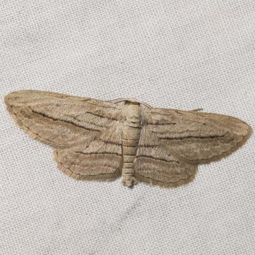 Five-lined Gray - Glena quinquelinearia - male