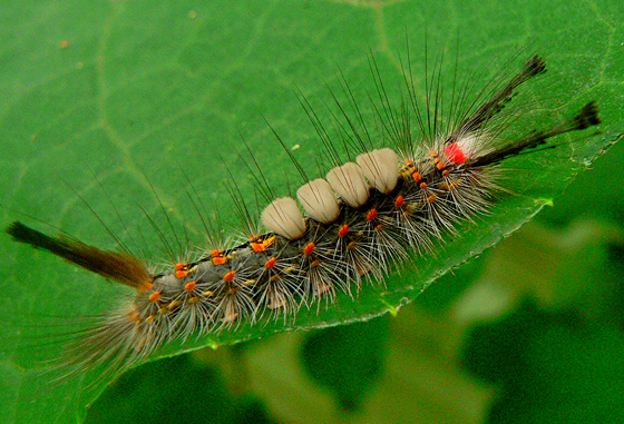 Caterpillar Identification? - Orgyia detrita - BugGuide.Net