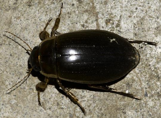 Beetle, Stanwood WA - Dytiscus - male