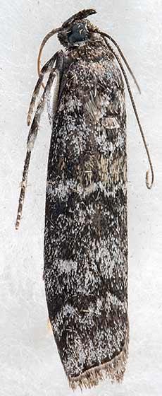 moth - Dioryctria abietivorella - female