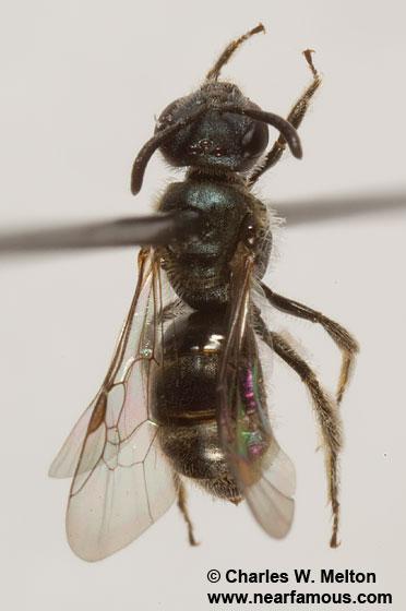 Lasioglossum? - Lasioglossum - male