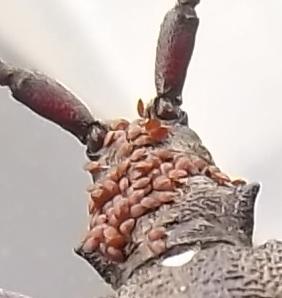 Longhorned beetle with stowaways - Monochamus scutellatus