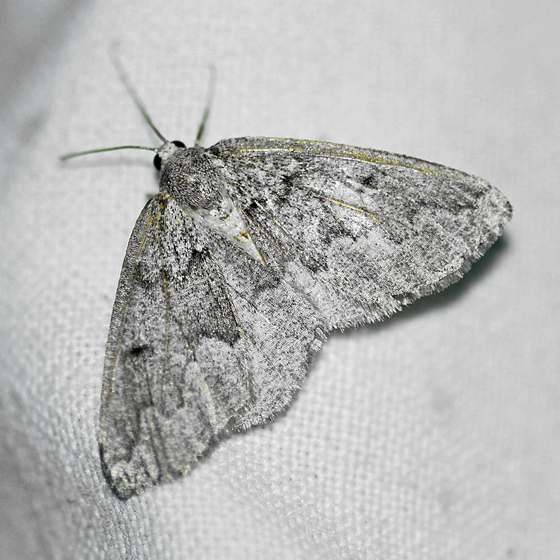 Packard's girdle  - Enypia packardata - female