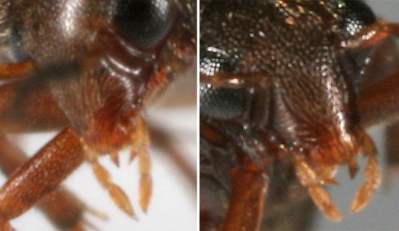 Eucinetid - Nycteus infumatus