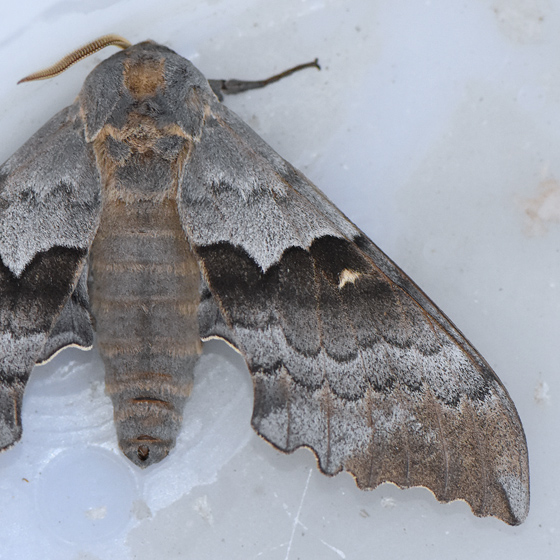 7829  - Pachysphinx occidentalis