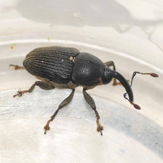 Weevil - Odontocorynus salebrosus