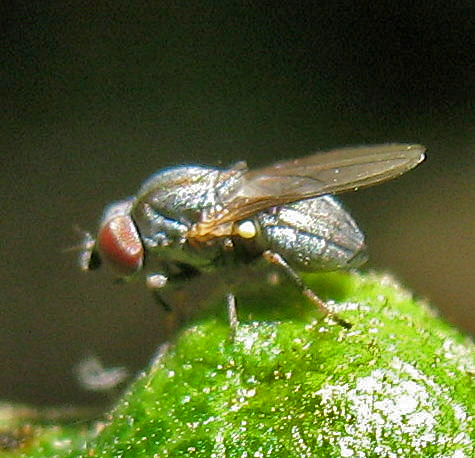 Small gray fly - Leucopis