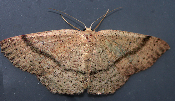 035 - Cyclophora dataria - female