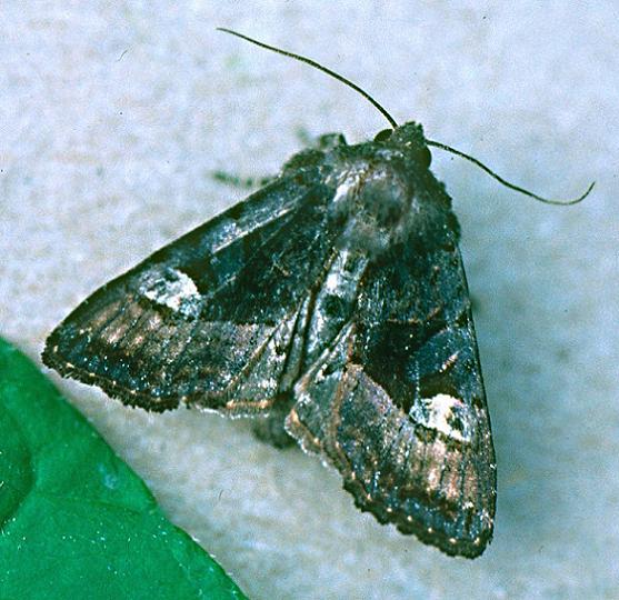 American Angle Shades - Euplexia benesimilis - female