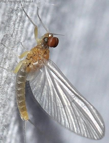 Mayfly - Diphetor hageni - male
