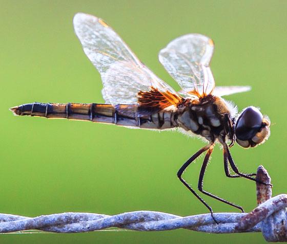 Libellulidae - Macrodiplax balteata
