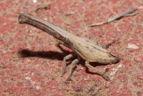 Treehopper - Rhabdocephala brunnea