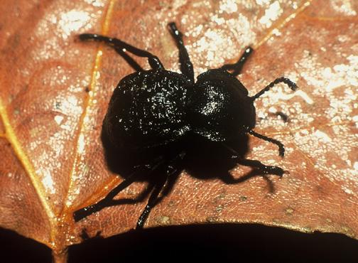 Unidentified Tenebrionid - Microschatia inaequalis