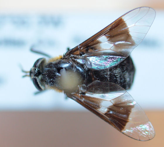 Tabanidae?? - Chrysops carbonarius - female