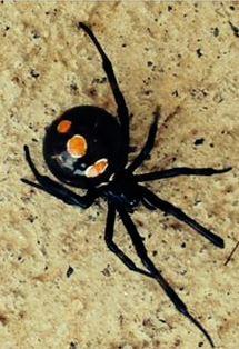 New Spider  - Latrodectus