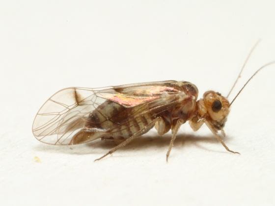 Blaste garciorum Mockford - Blaste garciorum - female