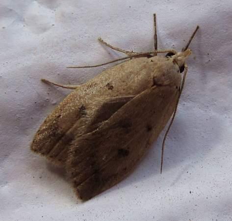 Micro Moth - Machimia tentoriferella