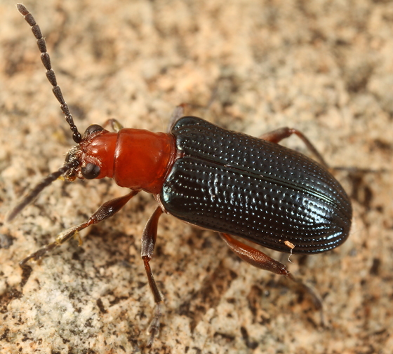 leaf beetle - Oulema arizonae