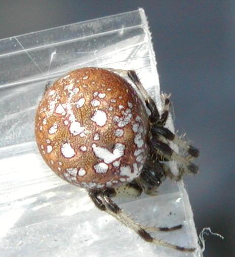 Shamrock Spider - Araneus trifolium - female
