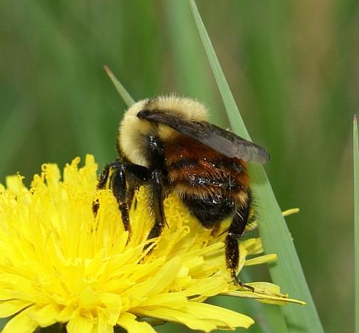 Unknown Bumble Bee - Bombus rufocinctus - female