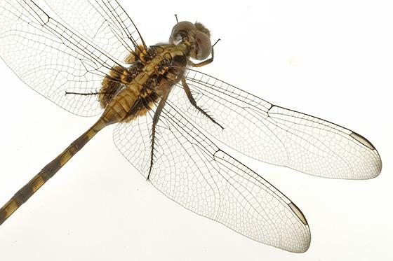 Dragonfly id - Erythemis plebeja