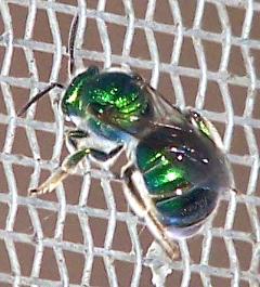 Augochloropsis - female