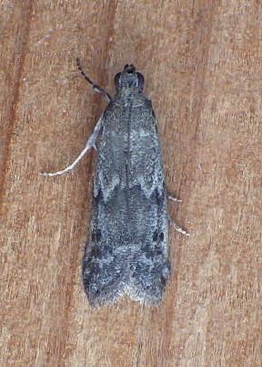 Pyralidae: Eurythmia angulella? - Eurythmia angulella