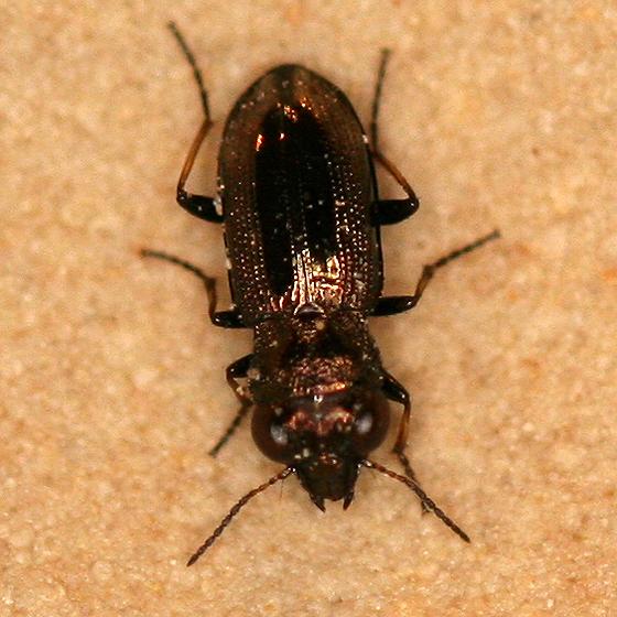 Tiny bronze beetle - Notiophilus biguttatus