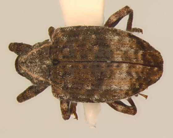 Curculionidae, dorsal - Conotrachelus seniculus