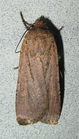Moth - Graphiphora? - Peridroma saucia