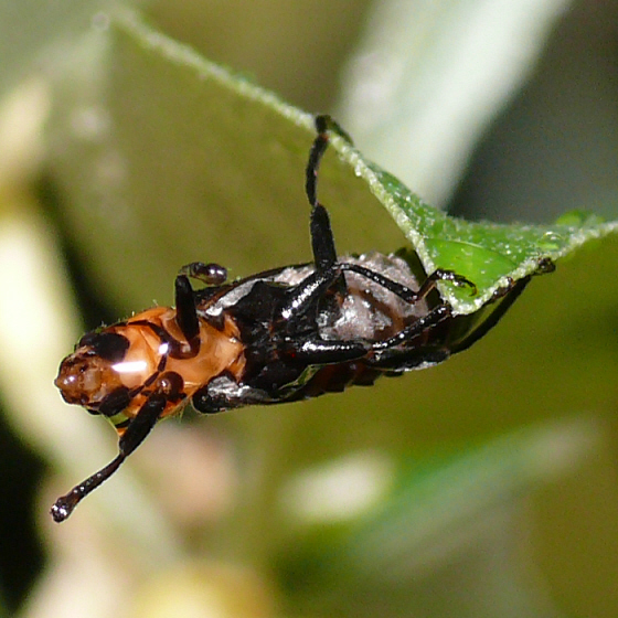 Soldier beetle - Cantharis lecontei