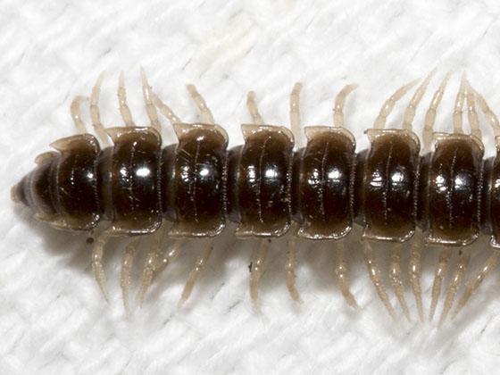 Oxidus gracilis? - Oxidus gracilis