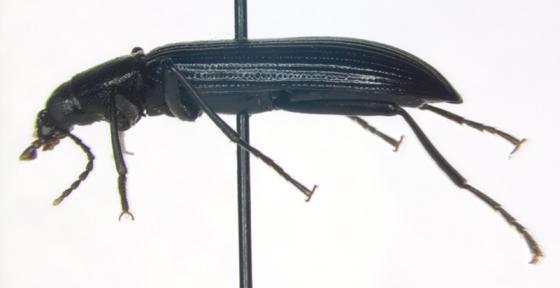 Tenebrionidae, lateral - Strongylium tenuicolle