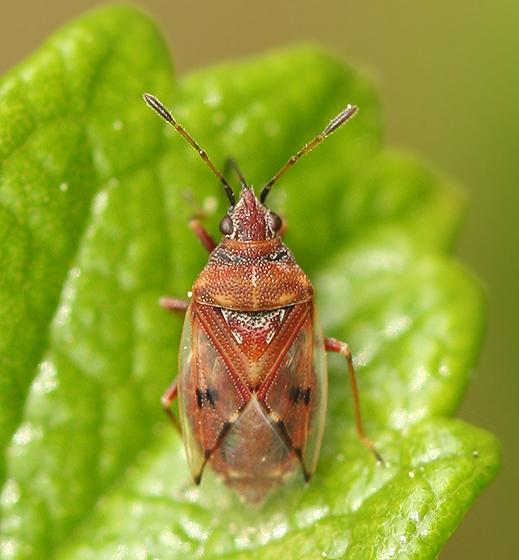 Birch Catkin Bug? - Kleidocerys resedae