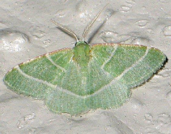 Phoenix Emerald - Dichordophora phoenix - male