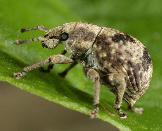 Weevil 0532 - Pseudocneorhinus bifasciatus