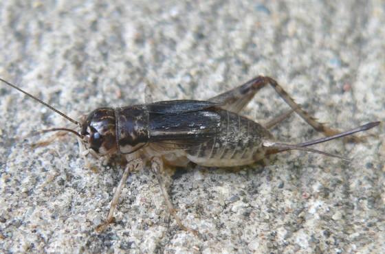 Japanese Burrowing Cricket - Velarifictorus micado - female