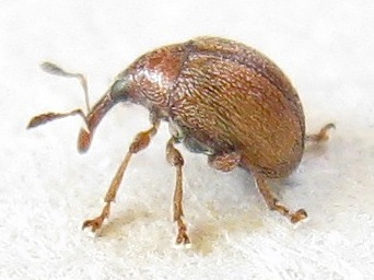 Tiny Snout Beetle - Microon canadense