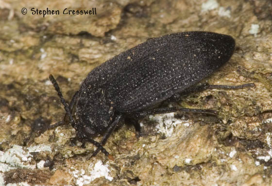 False Darkling Beetle family, Found under bark - Penthe pimelia
