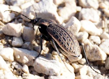 Ground Beetle? - Carabus maeander