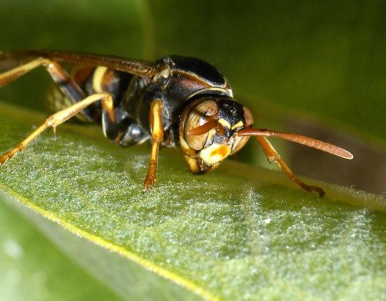 Wasp? - Polistes aurifer - female