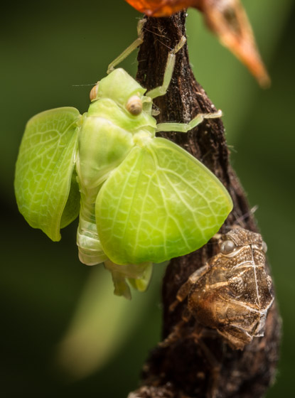 Planthopper emerging - Acanalonia conica