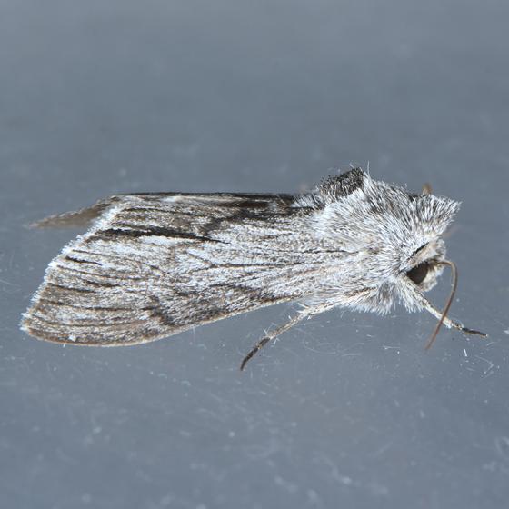 10209  - Cucullia eulepis