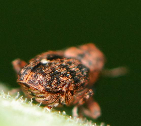 weevil ? - Lechriops oculatus
