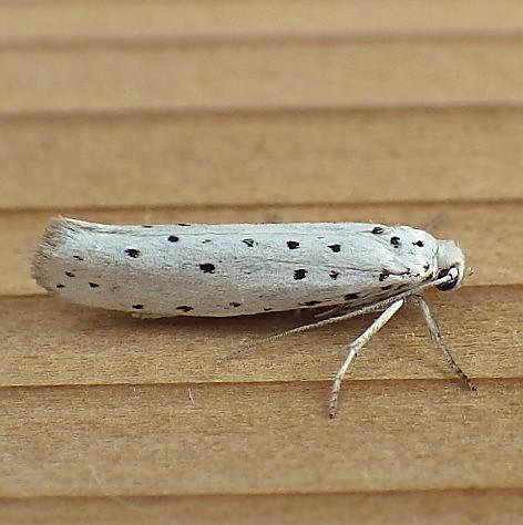 Yponomeutidae: Yponomeuta malinellus - Yponomeuta malinellus