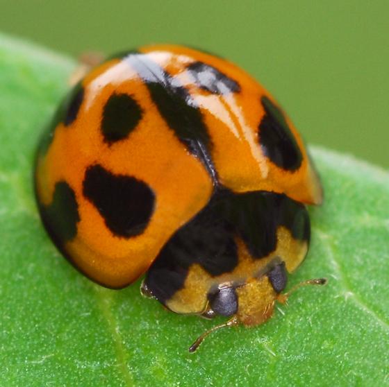 ladybug - Coelophora inaequalis
