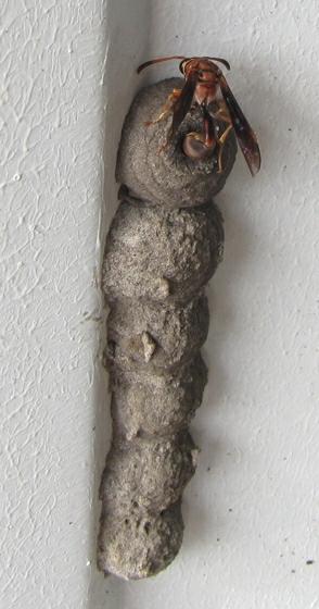 wasp - Zeta argillaceum - female