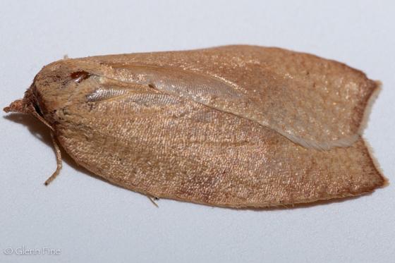 Amorbia cuneanum