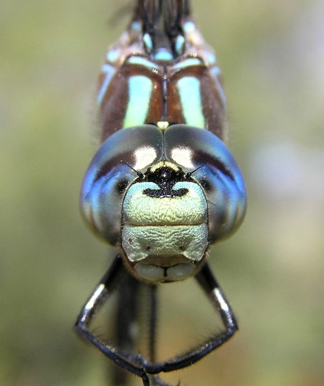 Lance-tipped Darner - Aeshna constricta - male